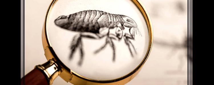 Flea Control Woollahra