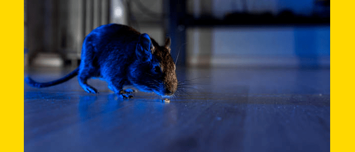 Rodent control Woollahra